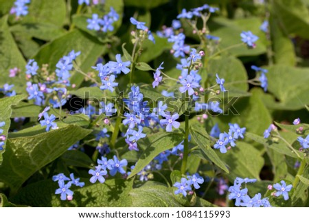 Brunnera macrophylla, the Siberian bugloss, great forget-me-not, largeleaf brunnera or heartleaf, is a species of flowering plant in the family Boraginaceae, native to the Caucasus.