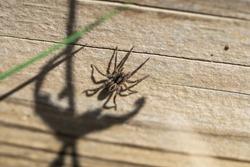 Brush Legged Wolf Spider in Springtime