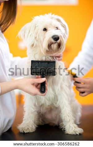 Brushing and care of beautiful Maltese dog in vet clinic