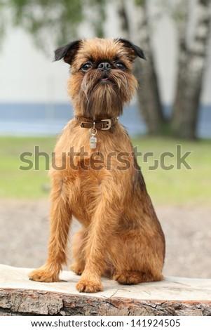 Brussels Griffon dog portrait on wooden bench (Outdoor)