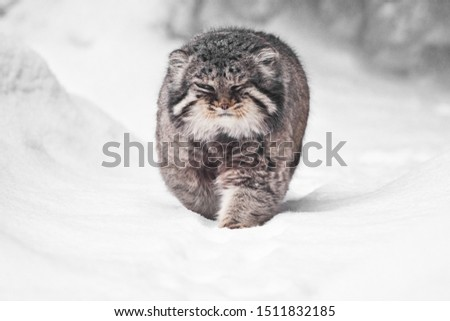 brutal fluffy wild cat manul on white snow  comes right at you full face, power and fluffiness.