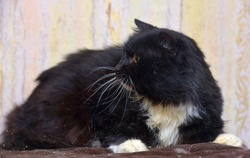 brutal  furry black and white furry cat