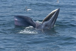 Bryda's whale is opening its mouth to eat small fish and seagulls are catching fish at the Blueda's mouth.