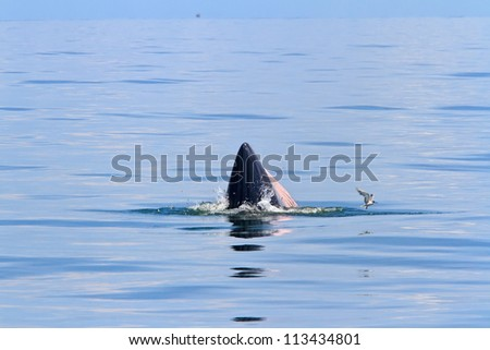 Bryde's Whale Eating fish in the sea of Thailand