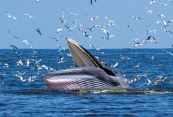 Bryde's whale in the Gulf of Thailand