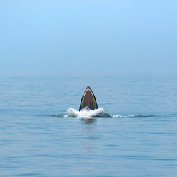 Bryde's whale opens mouth wide to eating small fish at Bangtaboon, Petchburi, Gulf of Thailand.