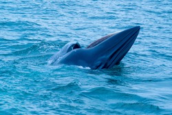 Bryde's whale or Eden's whale leap or ramp from sea water surface during eat small fish and show the Baleen plates in upper mouth.