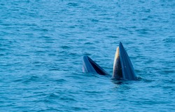 Bryde's whale or Eden's whale or Bruda whale open mouth around sea water surface during eat small fish and show the Baleen plates in upper mouth.