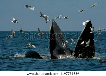 Bryde's Whales (Mother and Son) hunting shrimps in the sea. This picture was taken in Thailand.