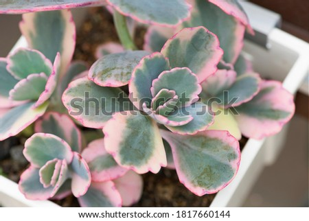Bryophyllum fedtschenkoi or Lavender Scallops Kalanchoe is succulent with fleshy gray-green leaves and cream color along the scalloped leaf margin and red tinged edges. Closeup on the plant in pot. Stockfoto ©