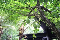 Buah Maja or known as Maja fruit (Aegle Marmelos) on the branch, with leaves background