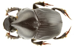 Bubas bison (dung beetle) isolated on a white background.