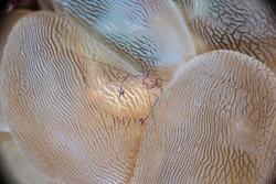 Bubble Coral Shrimp Vir philippinensis