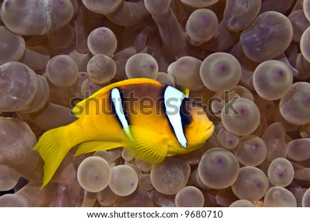bubbleanemone and anemonefish