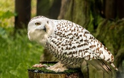 Bubo scandiacus: Snowy owl or white owl eating mouse for lunch on a trunk of a tree in the woods, bird watching, predator carnivorous diet