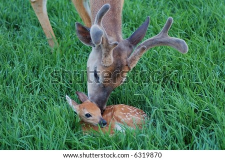 Buck and Fawn - stock photo