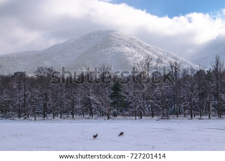 Buck deer foraging in a snowy meadow in Smoky Mtn Nat'l Park's Cades Cove Photo stock ©