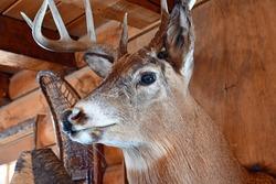 Buck Deer Taxidermy animal mount on wall of rustic log cabin