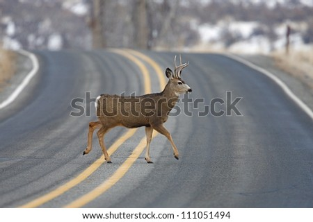 "Buck Deer walks across highway on a blind curve, an ""accident waiting to happen"", Twisp, Washington; auto / car accident"