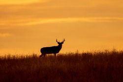 Buck Whitetail Deer at Sunset in Autumn