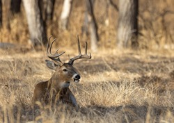 Buck Whitetail Deer in Colorado During the Rut