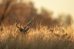Buck Whitetail Deer in Colorado During the Rut in Autumn