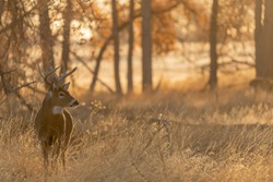 Buck Whitetail Deer in Colorado in Autumn