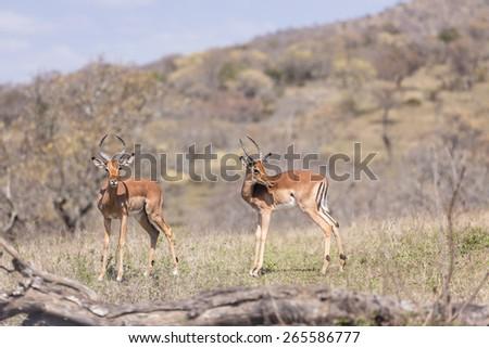 Buck Wildlife Safari\ Impala buck wildlife animals alert in wilderness safari park reserve