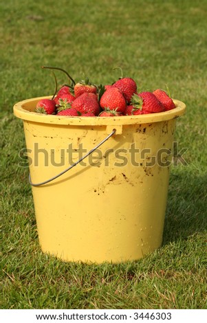 Bucket full of fresh harvest strawberrris