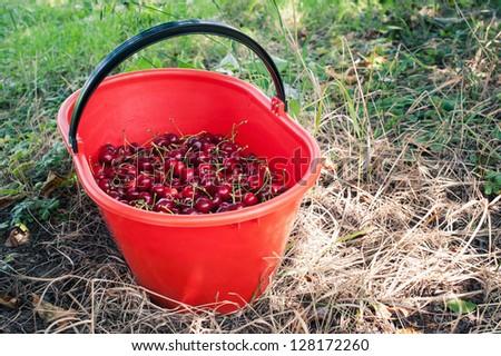 Bucket of juicy cherries.