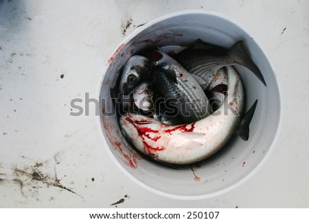 Bucket of mullet fish in a boat blood and mud are visible for List of fish with fins and scales