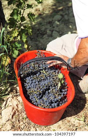 Bucket of picked grapes in vineyard in Tuscany Chianti area, Italy