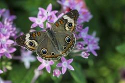 Buckeye Butterfly feeding on Pentas lanceolata