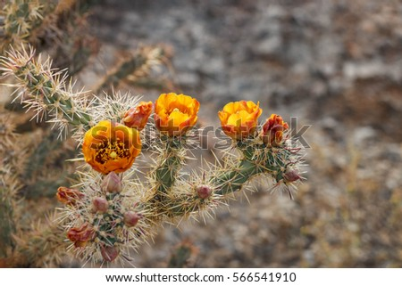 buckhorn cholla cactus bloom...