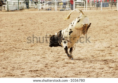 Bucking action after the rider had been thrown during the bull rinding competition at a rodeo.