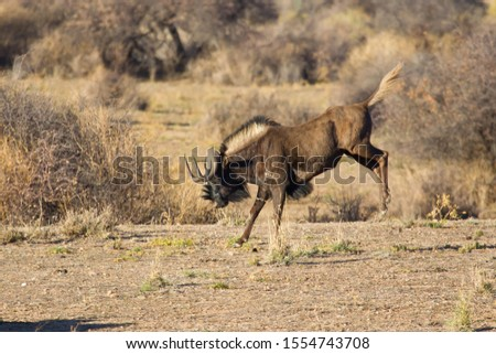 Bucking Black Wildebeest or White-tailed Gnu (Connochaetes gnou), Etosha National Park, Namibia #1554743708