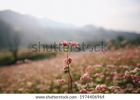 buckwheat flowers blossoms. buckwheat field in Moc Chau, Viet Nam Zdjęcia stock ©