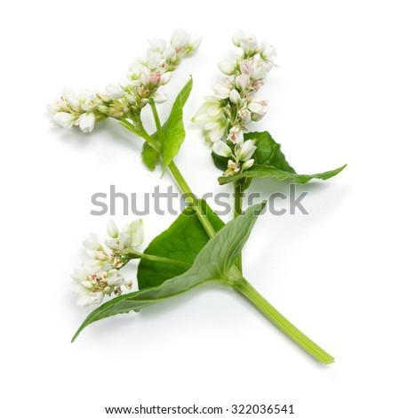 Buckwheat flowers isolated on white background #322036541
