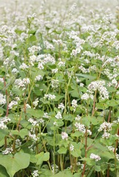 Buckwheat plant on agriculture field bloomong with white flowers, eco farming background or texture, closeup, organic agriculture and horticulture concept