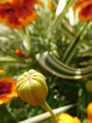 bud of garden flower marigold tagetes macro on blurred background, floriculture, horticulture concept