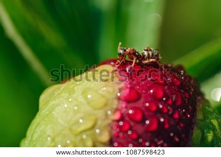 Bud of peony with drops of water and an ant sitting on it #1087598423