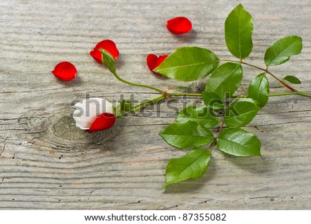 bud of soft white rose with green leaves and red petals on wooden background