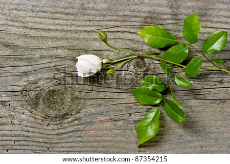 bud of soft white rose with green leaves over grunge wooden background