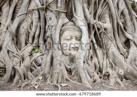 buddha head tree wat maha that  ...