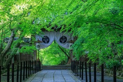 Buddhist temple and Green maple leafs in early summer, Kyoto Japan