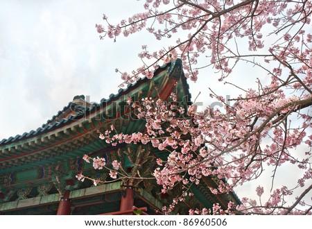 buddhist temple at Jeju Korea with sakura cherry blossoms
