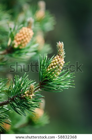 Budding branches of a Lodgepole Pine tree in Kananaskis Country Alberta Canada
