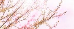 budding cherry tree in springtime, spring awakening branches isolatet on light pink background, tree buds burst open in springtime