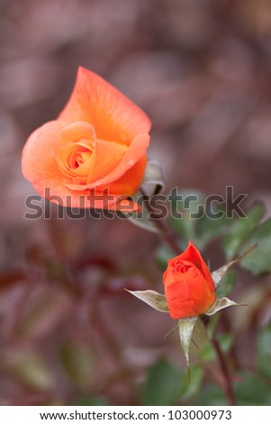 Budding Orange Roses in Garden with Blurred Background