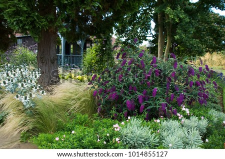 BUDDLEIA ' NANHO PURPLE' AND EUPHORBIA 'SILVER SWAN',WITH STIPA TENUISSIMA GRASS PROVIDE COLOUR AND TEXTURE IN GARDEN BORDER